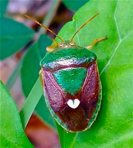 Green - Gold Beetle with heart - (garden photo ©Morri)