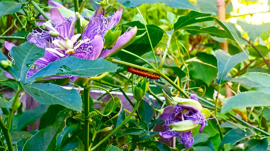 "Passion-flower vine from my garden and one of the Gulf Fritillary Butterfly Caterpillars ""we"" are hosting  (cell photo) ©Morri"